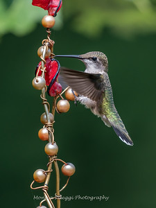 Hummingbird Aug 2018-3433