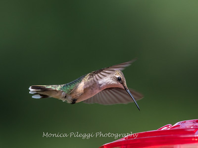 Hummingbird Aug 2018-3472