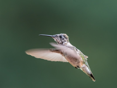 Hummingbird 14 Aug 2018-3615
