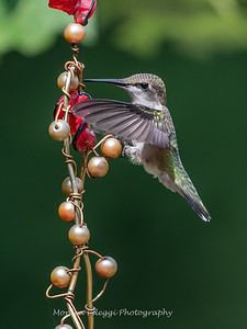 Hummingbird Aug 2018-3434