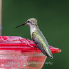 Hummingbird Aug 2018-3429