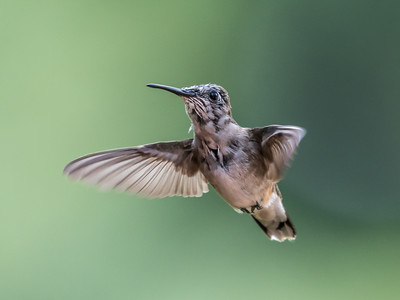 Hummingbird 14 Aug 2018-3511
