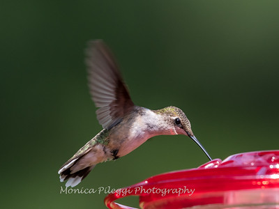 Hummingbird Aug 2018-3469