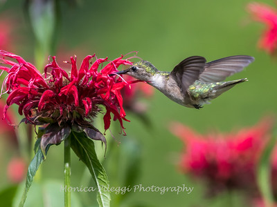 Hummingbirds 27 June 2017-0623