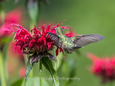 Hummingbirds 27 June 2017-0630