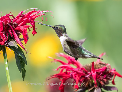 Hummingbirds 27 June 2017-0649
