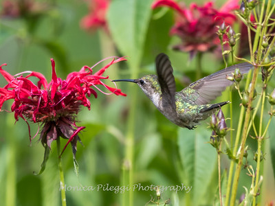 Hummingbirds 27 June 2017-0634