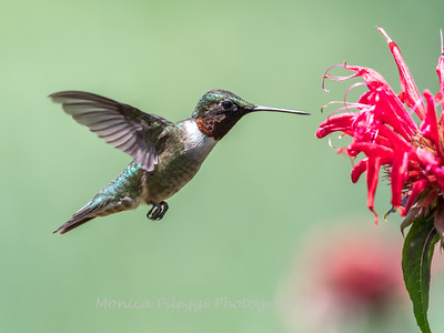 Hummingbird 26 June 2017-0438