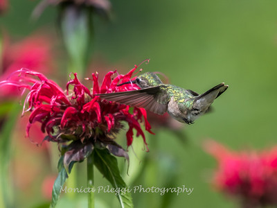 Hummingbirds 27 June 2017-0627