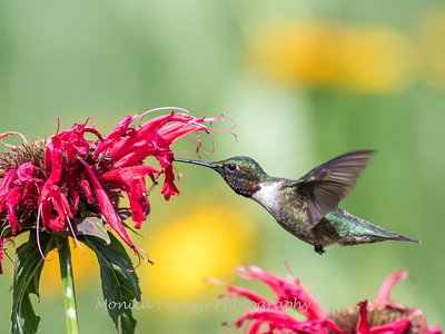 Hummingbirds 27 June 2017-0651