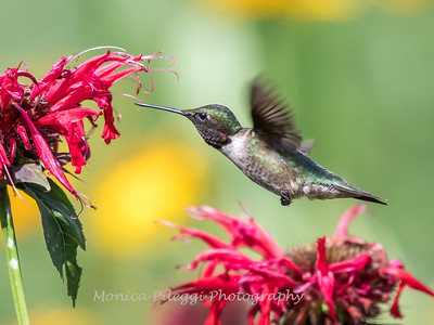 Hummingbirds 27 June 2017-0650