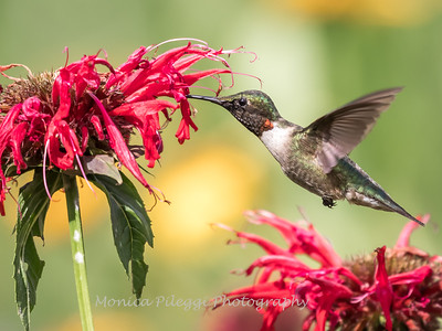 Hummingbirds 27 June 2017-0653