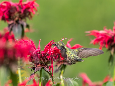 Hummingbirds 27 June 2017-0673