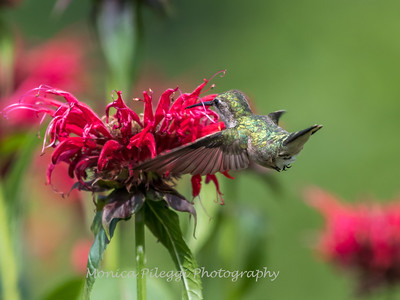 Hummingbirds 27 June 2017-0628