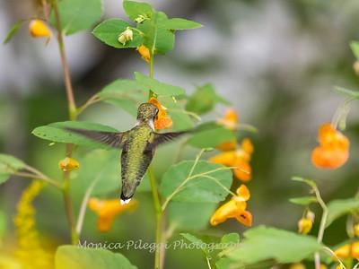 Hummingbirds 19 September 2017-8137