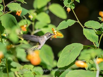 Hummingbirds 20 September 2017-8314
