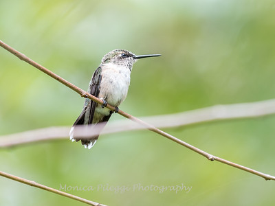 Hummingbirds 19 September 2017-8161