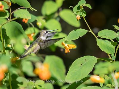 Hummingbirds 20 September 2017-8316