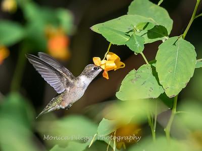 Hummingbirds 20 September 2017-8321
