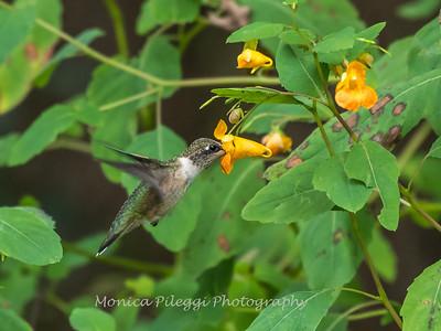 Hummingbirds 19 September 2017-8142