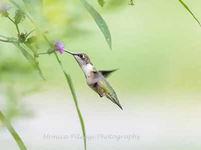 Hummingbirds 19 September 2017-8168