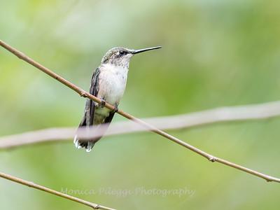Hummingbirds 19 September 2017-8159
