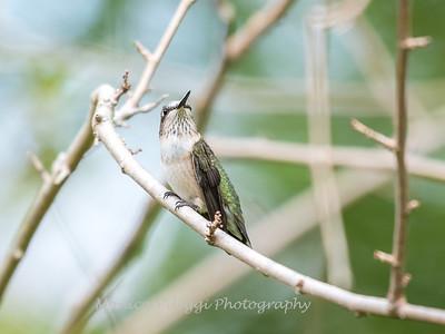 Hummingbirds 19 September 2017-8150