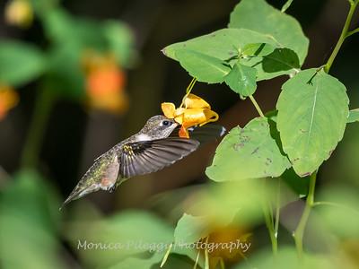 Hummingbirds 20 September 2017-8319