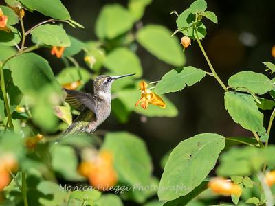 Hummingbirds 20 September 2017-8315