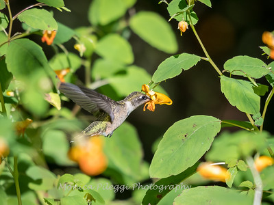 Hummingbirds 20 September 2017-8313