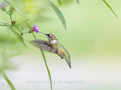 Hummingbirds 19 September 2017-8165