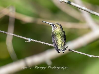 Hummingbirds 20 September 2017-8305