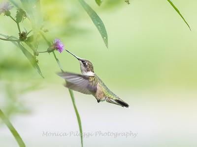 Hummingbirds 19 September 2017-8169
