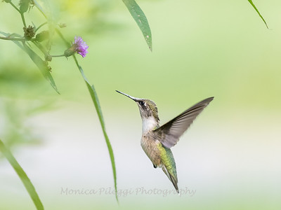 Hummingbirds 19 September 2017-8170