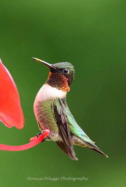 First hummingbird of the season, 16 April 2015.
