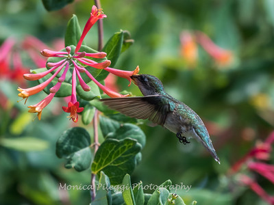 Hummingbirds 17 July 2017 -1822