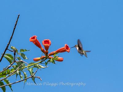 Hummingbirds 17 July 2017 -1594