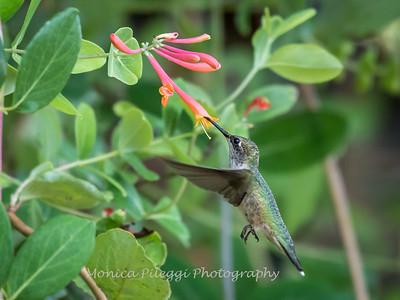Hummingbirds 17 July 2017 -1810