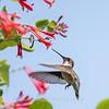 Hummingbirds 17 July 2017 -1715