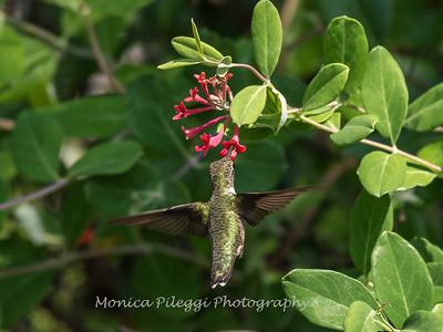 Hummingbirds 17 July 2017 -1744