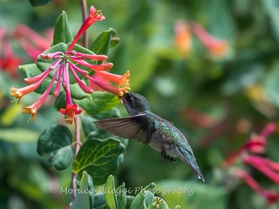 Hummingbirds 17 July 2017 -1819