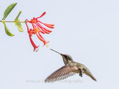 Hummingbirds 17 July 2017 -1670