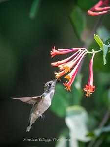 Hummingbirds 17 July 2017 -1776