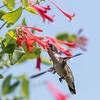 Hummingbirds 17 July 2017 -1700