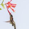 Hummingbirds 17 July 2017 -1672