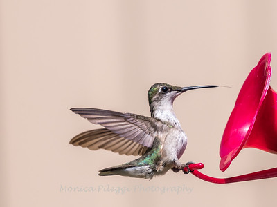 I hate photographing hummingbirds on a feeder, but she was so cute with her tongue sticking out that I had to post this.