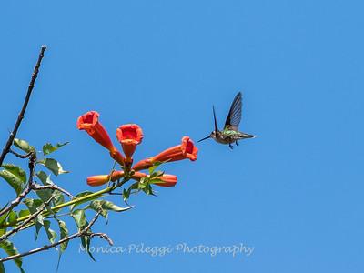 Hummingbirds 17 July 2017 -1593