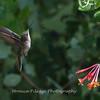 Hummingbirds 17 July 2017 -1677