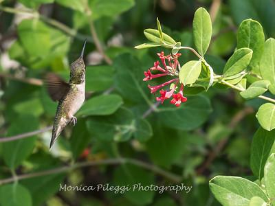 Hummingbirds 17 July 2017 -1745