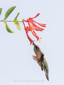 Hummingbirds 17 July 2017 -1671